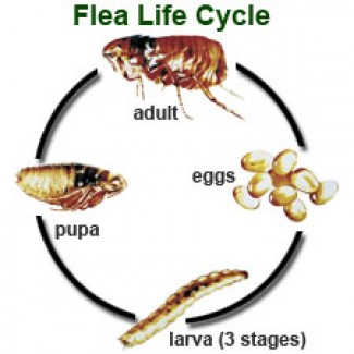 flea_lifeCycle-e1290733265993