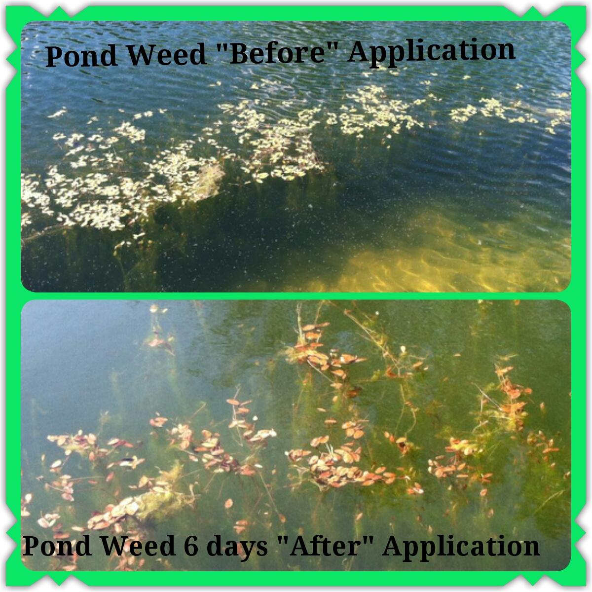 pond weed